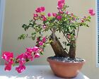 Bougainvillea Red Bonsai Tree SALE