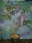 Beautiful Bonsai Mission Olive Tree Olea Europaea Mission