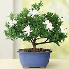 Gardenia Small Bonsai Tree Dark Evergreen Finest Suede Glossy Compact Foliage