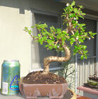 Fukien Tea Tree Bonsai Zisha Pot Dwarf Shohin Fat Trunk White Flower