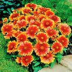 200+BLANKET FLOWER Seeds American Native Wildflower Perennial Butterflies Garden