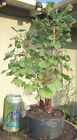 Ginkgo Biloba Maidenhair Pre Bonsai Raft Forest Dwarf Shohin