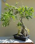JAPANESE ROYAL PURPLE WISTERIA BONSAI TREE SALE