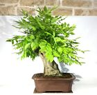 Wisteria bonsai tree 4