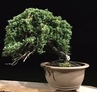 Large Semi Cascade Juniper Bonsai In Tokoname Pot