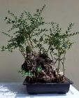 OLD Olive Tree Bonsai Tree Short Sale
