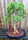 Tiger Bark Ficus Bonsai Tree with Aerial Roots Potted in Low Profile 17 Pot