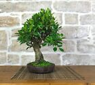 Bonsai Ficus Retusa 51
