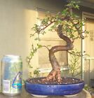 Chinese Elm Bonsai Mame Shohin Nice Movement Big Fat Trunk