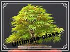 20 Japanese Maple Tree Bonsai Seeds Acer Palmatum Red Blue Purple Green Yellow