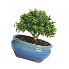 Brussels Kingsville Boxwood Bonsai Small Outdoor