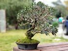 Olive Bonsai Small leaf variety