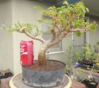 Bougainvillea Spectabilis Pre Bonsai Dwarf Kifu Nice Movement Fat Trunk Flowers