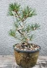 Japanese Black Pine Bonsai TreeSale