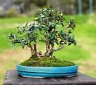 Small leaved olive grove bonsai Fairy tale grove with elf