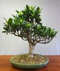 Bonsai Indoor Gummibaum Ficus retusa 201824