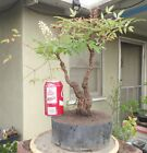 Nandina Heavenly Bamboo Pre Bonsai Dwarf Kifu Big Fat Trunk Nice Nebari