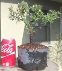 Gray Leaf Cotoneaster Pre Bonsai Dwarf Shohin Nice Trunk Nebari Flowers Berries