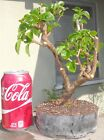 Bougainvillea Bambino Bluey Pre Bonsai Dwarf Shohin Nice Movement Trunk Flowers