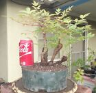 Nandina Heavenly Bamboo Pre Bonsai Forest Dwarf Shohin Big Fat Trunk