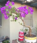 Bougainvillea Spectabilis Pre Bonsai Dwarf Shohin Nice Movement Trunk Flowers