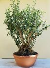 Olive Tree Bonsai Tree  Sale