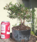 New Zealand Tea Tree Pre Bonsai Dwarf Shohin Nice Movement Trunk Flowers