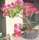 Bougainvillea La Jolla Pre Bonsai Dwarf Shohin Big Fat Trunk Flowers A1