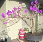 Bougainvillea Pre Bonsai Dwarf Kifu Big Fat Trunk Purple Flowers