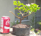 Rosenka Bougainvillea Pre Bonsai Dwarf Shohin Nice Trunk Orange Pink Flowers