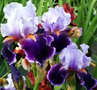Beautiful Iris seeds Mix Bonsai Flower for Indoor Rooms Seed 50 seeds