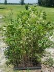 winged elm tree live 3ft plus lot of 2 bonsai shade tree fast growing