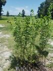 Drake Chinese elm tree live 3ft plus lot of 2 bonsai shade tree fast growing