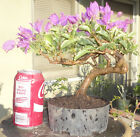 Bougainvillea Baby Bambino Pre Bonsai Dwarf Shohin Big Fat Trunk Magenta Flowers