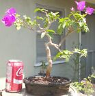 Bougainvillea Elizabeth Angus Pre Bonsai Dwarf Shohin Nice Movement Trunk Flower