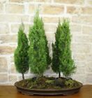 Grove Cypress bonsai tree 5