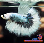 Live Betta Fish Male Steel Blue Butterfly Halfmoon HM 1925