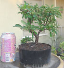 Pyracantha Firethorn Pre Bonsai Shohin Mame Nice Movement Truck Flowers Berries