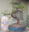 Chinese Elm Bonsai Mame Shohin Dwarf Nice Movement Big Fat Trunk