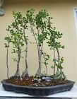 Forest Ginkgo Bonsai TreeSALE