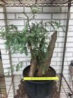 Massive Bald Cypress Knee Bonsai Tree