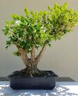 OLD JAPANESE Boxwood Bonsai Tree SALE