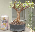 Jade Pre Bonsai Dwarf Shohin Big Fat Trunk Portulacaria Afra Flowers