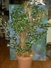 Large Pre Bonsai Style Yamadori OLIVE TREE Olea Europaea Mission 38 Tall