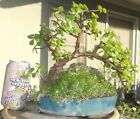 Portulacaria Afra Jade Bonsai Over Stone Dwarf Shohin Big Fat Trunk Flowers