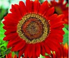 50+RED SUN SUNFLOWER Seeds Long Bloomer 5 6 Cut Flowers Butterflies Bees Birds