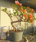 Rosenka Bougainvillea Pre Bonsai Dwarf Kifu Big Fat Trunk Orange Pink Flowers