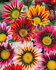 30+ Sunshine Mix Gazania Drought Resistant Re Seeding Annual Flower Seeds
