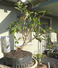 Sweet Olive Osmanthus Pre Bonsai Dwarf Kifu Big Fat Trunk Nice Nebari Flowers