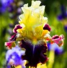 25 pcs. Iris seeds, flower seed, variety complete, the budding rate 95%.#192